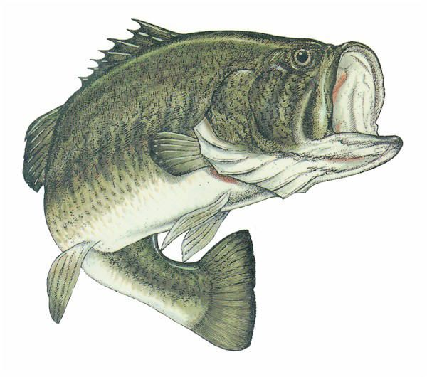 Bass clipart snapper fish. Best camping and fishing banner library