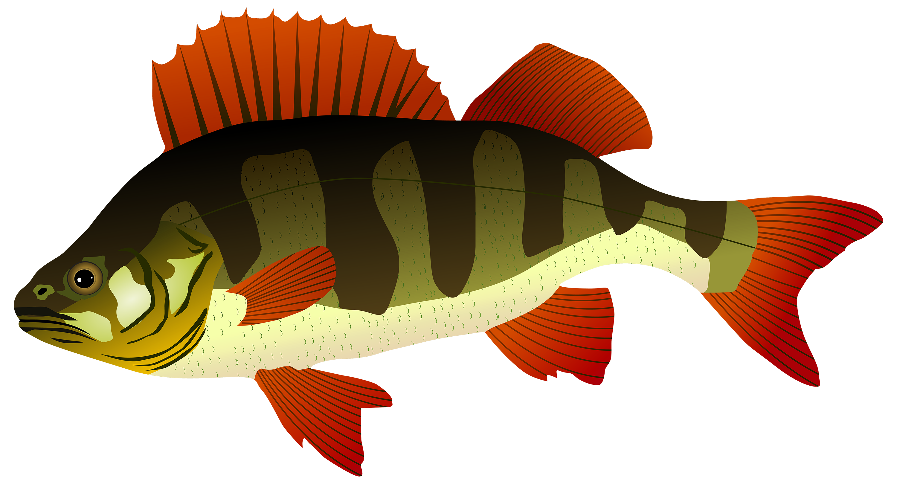Perch best web. Fish clipart png picture freeuse library