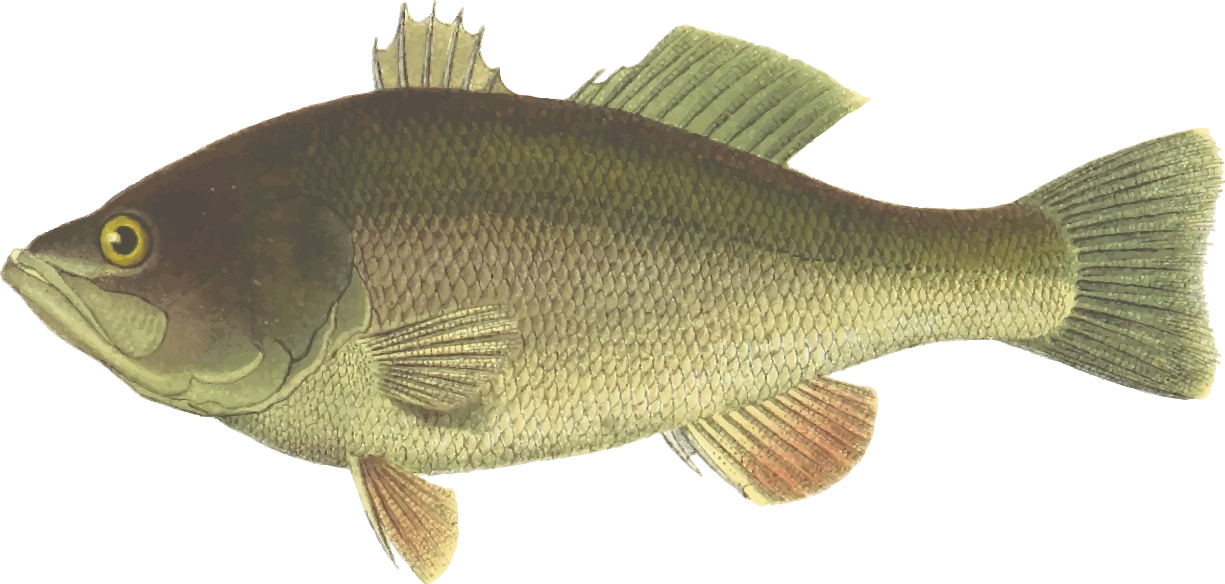 Carp drawing tench. Black bass icons png