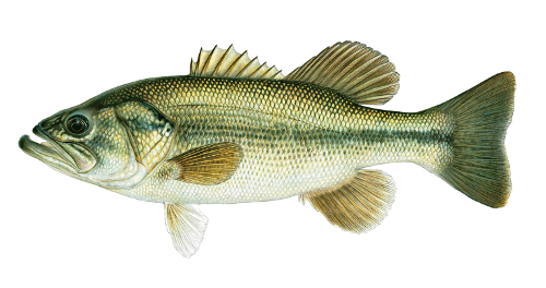 Large mouth bass png. Fishin guy fish species