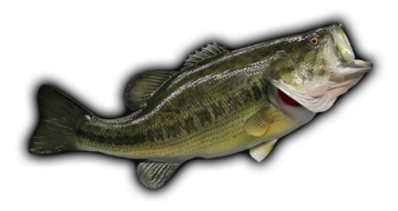 Large mouth bass png. Largemouth fish mount and