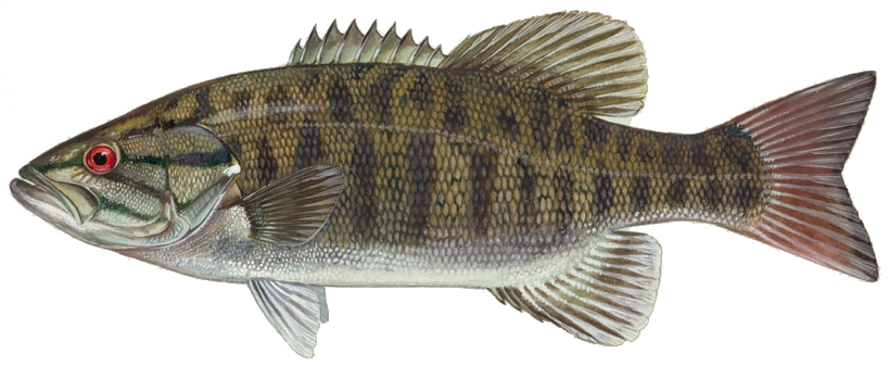 Bass fishing png. Smallmouth wikipedia