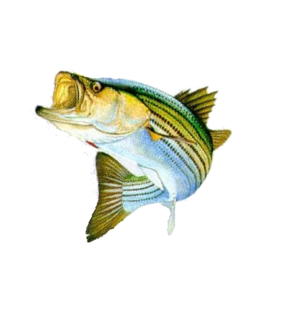 Bass fishing png. Transparent pictures free icons