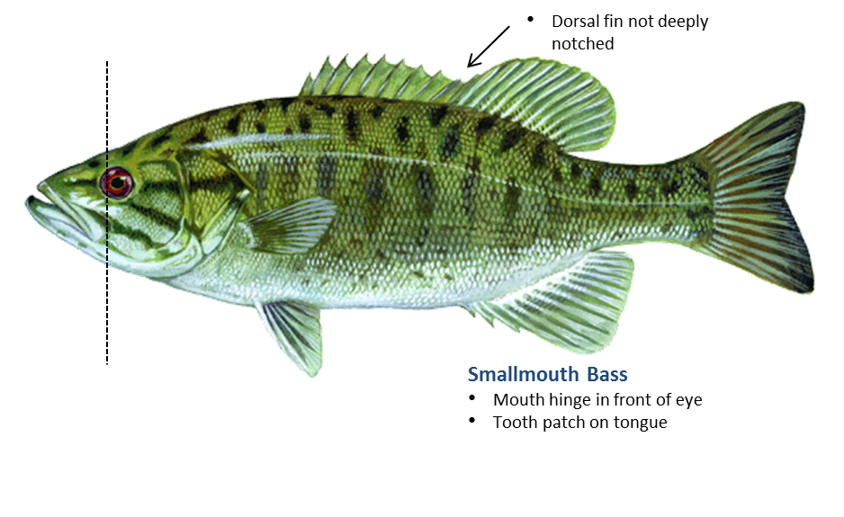 bass transparent freshwater