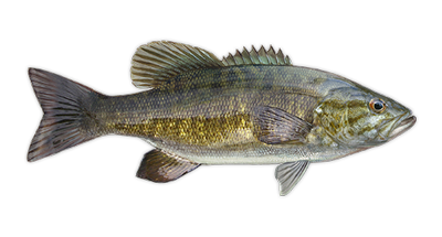 Bass transparent small mouth. Smallmouth decal fish hook