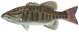 Bass transparent small mouth. File smallmouth png wikimedia