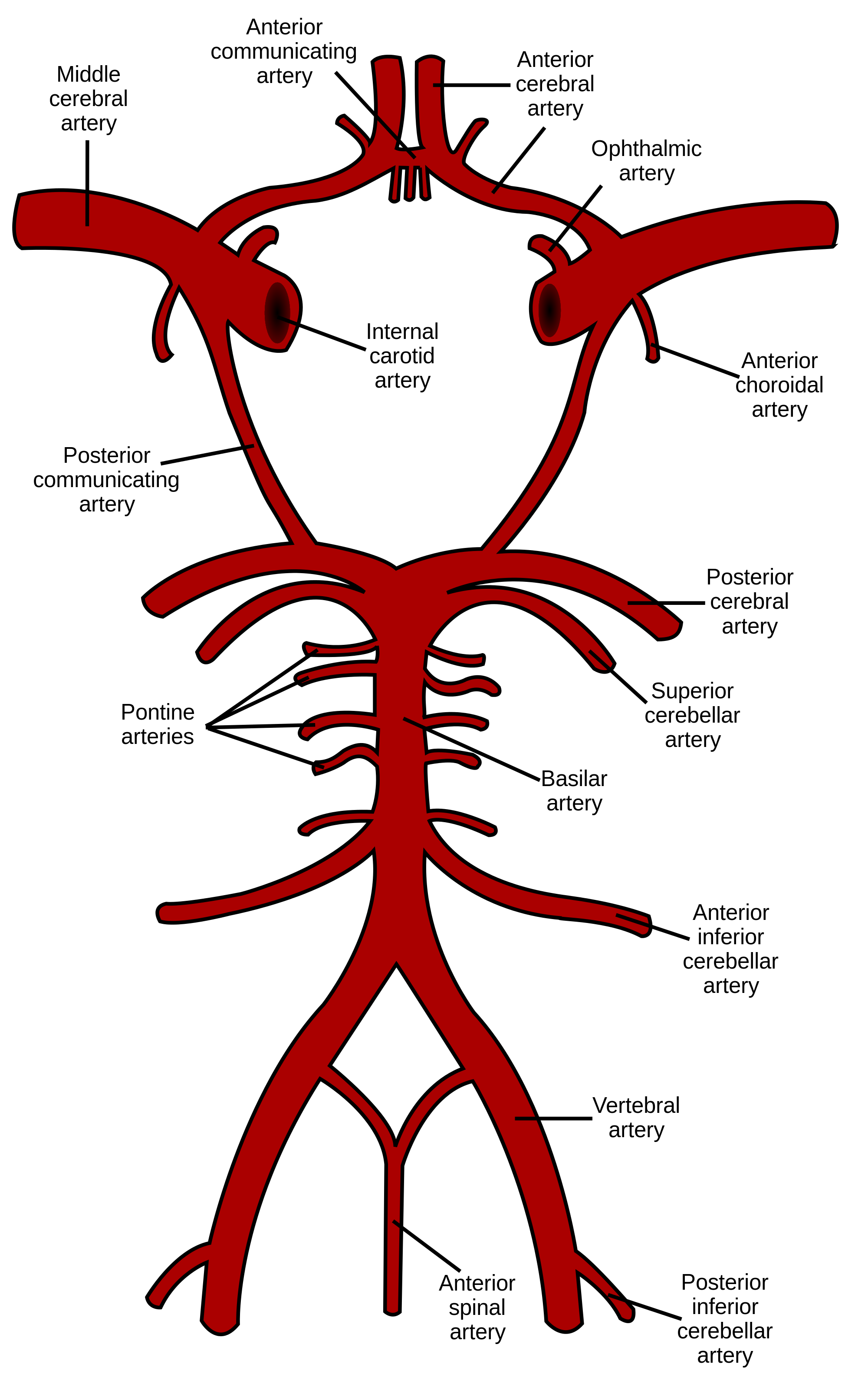 Batch png export spine. Anterior choroidal artery wikipedia