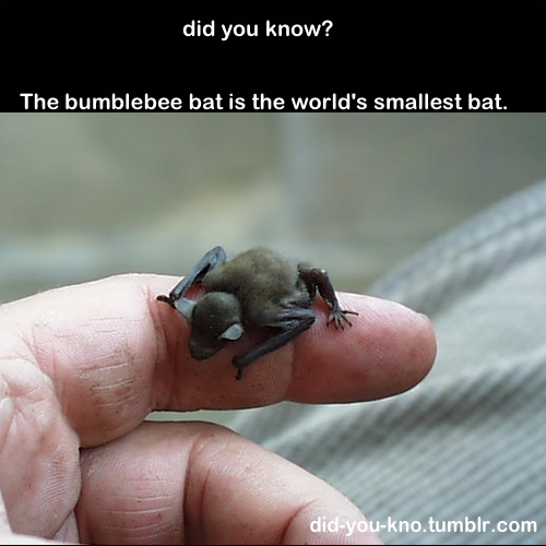 Bats clipart bumblebee bat. Who knew animals and