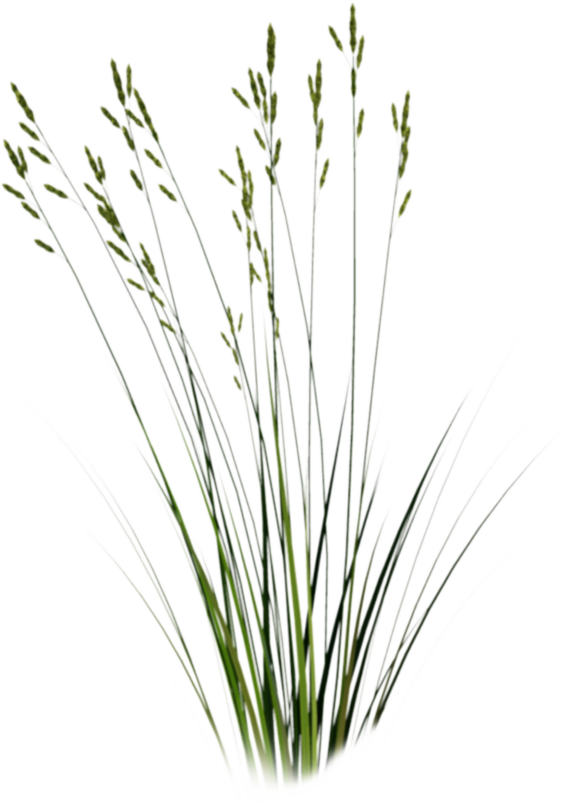 Beach grass png. Cut out google search