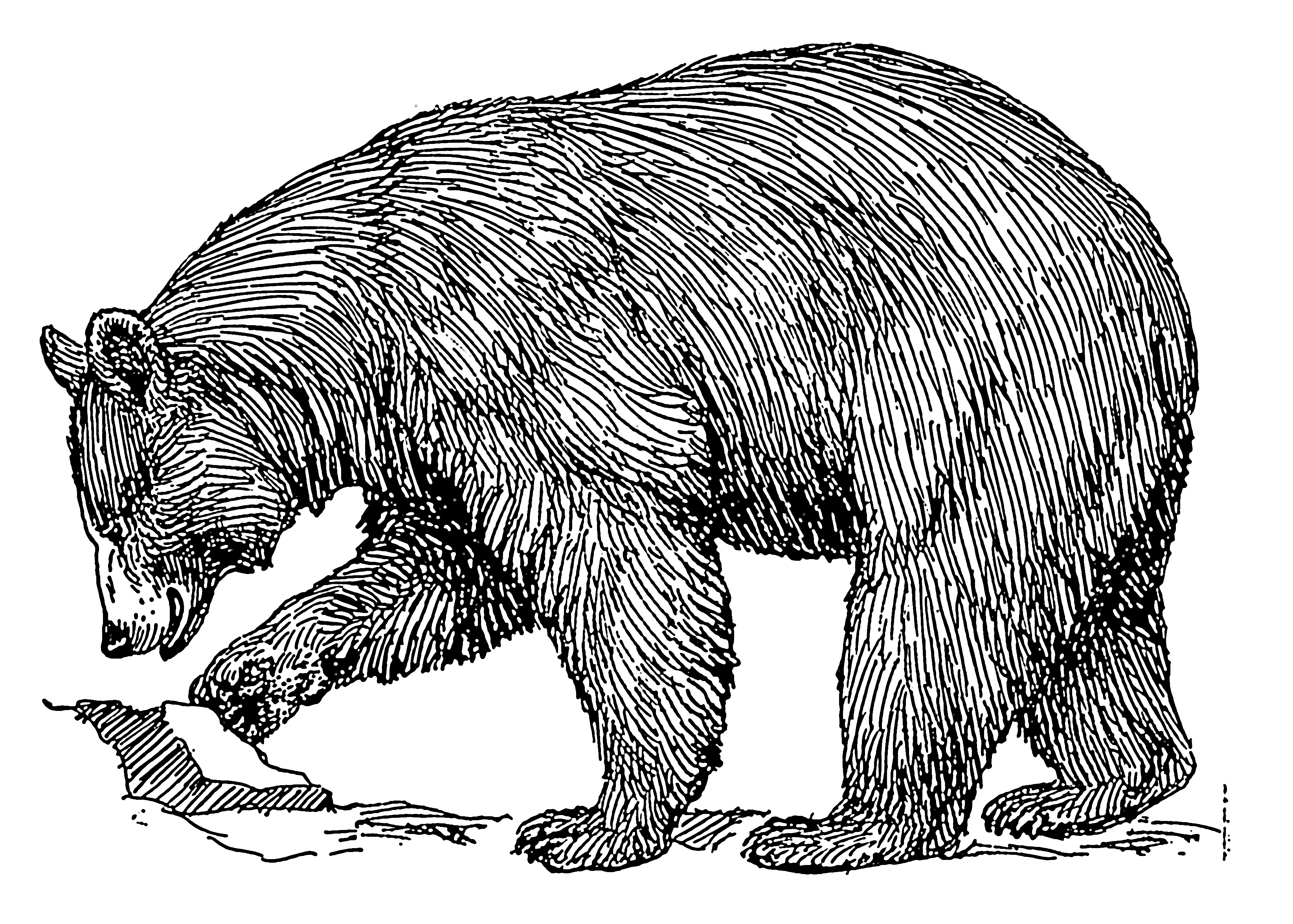 Bears drawing free download. Bear clip art realistic image library stock