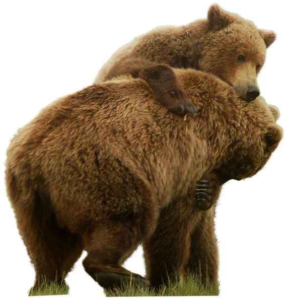 Bear standing png. Grizzly image purepng free