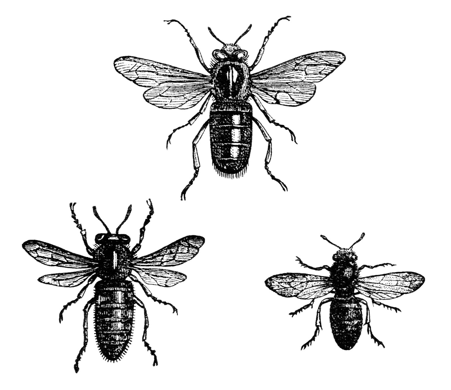 Bee clip art insect. Free vintage image queen