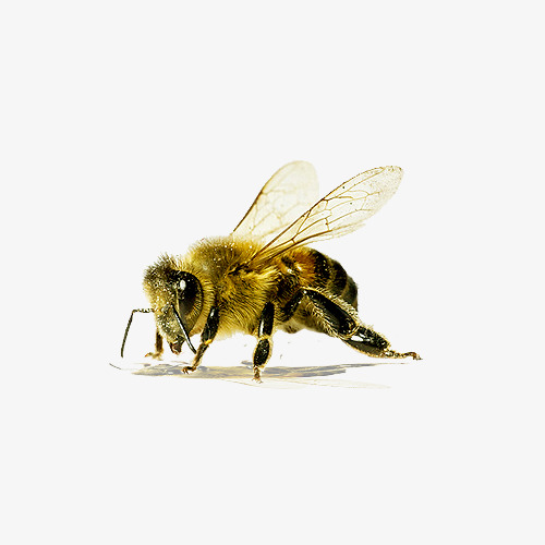 Bee clip art transparent background. Material wing collecting nectar