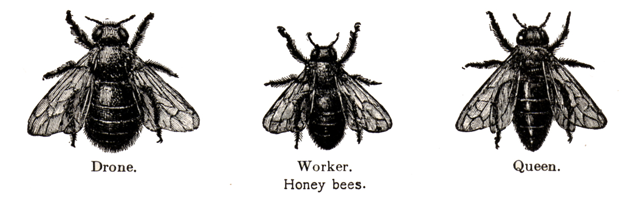 Bee clip art vintage. The moth bees
