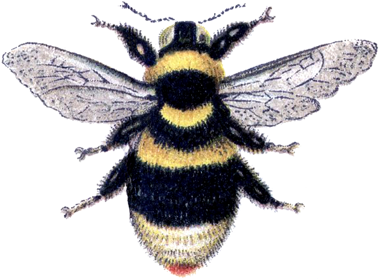 Bee clip art vintage. Marvelous bumblebee image the