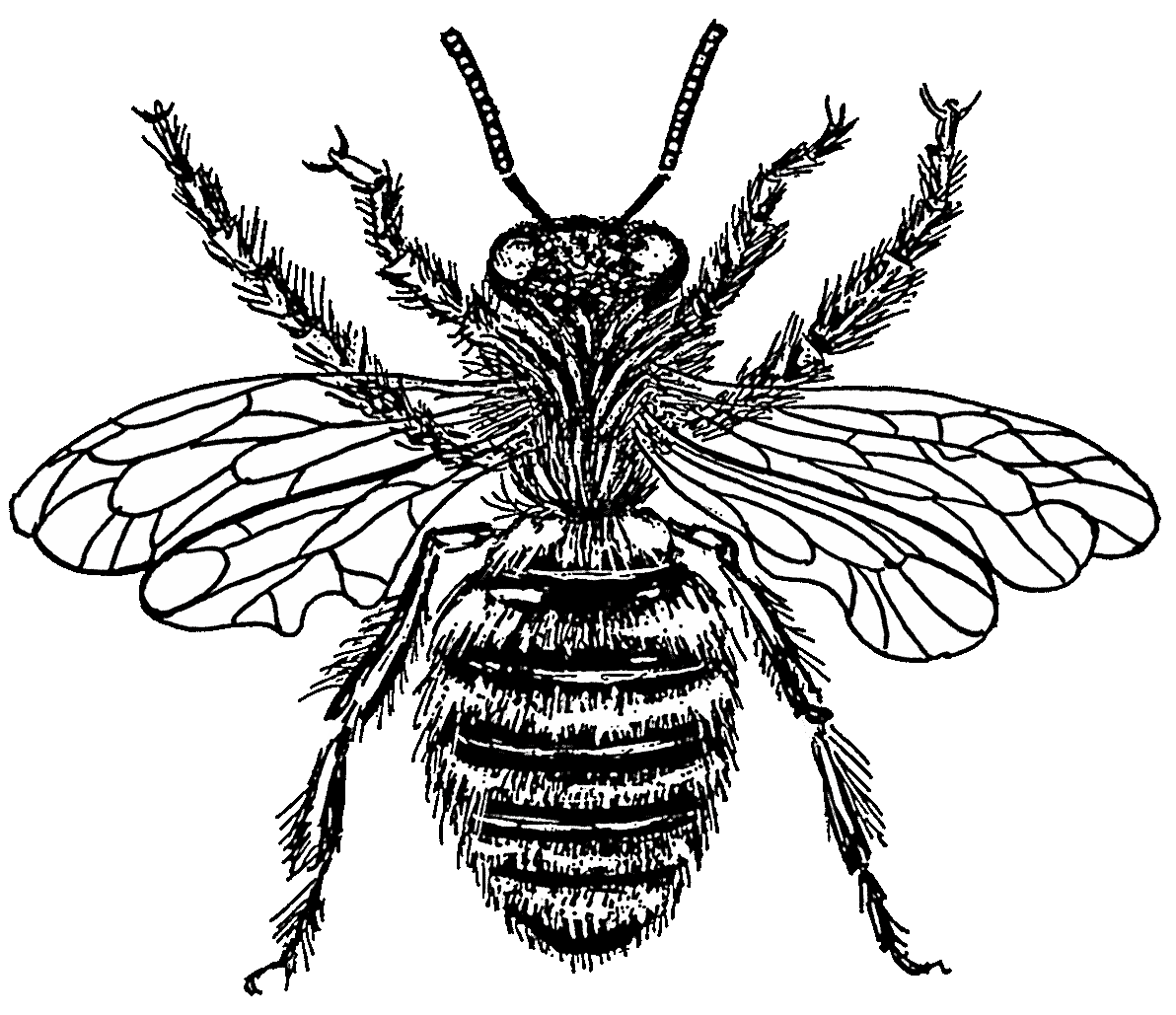 Bee drawing png. File psp wikimedia commons