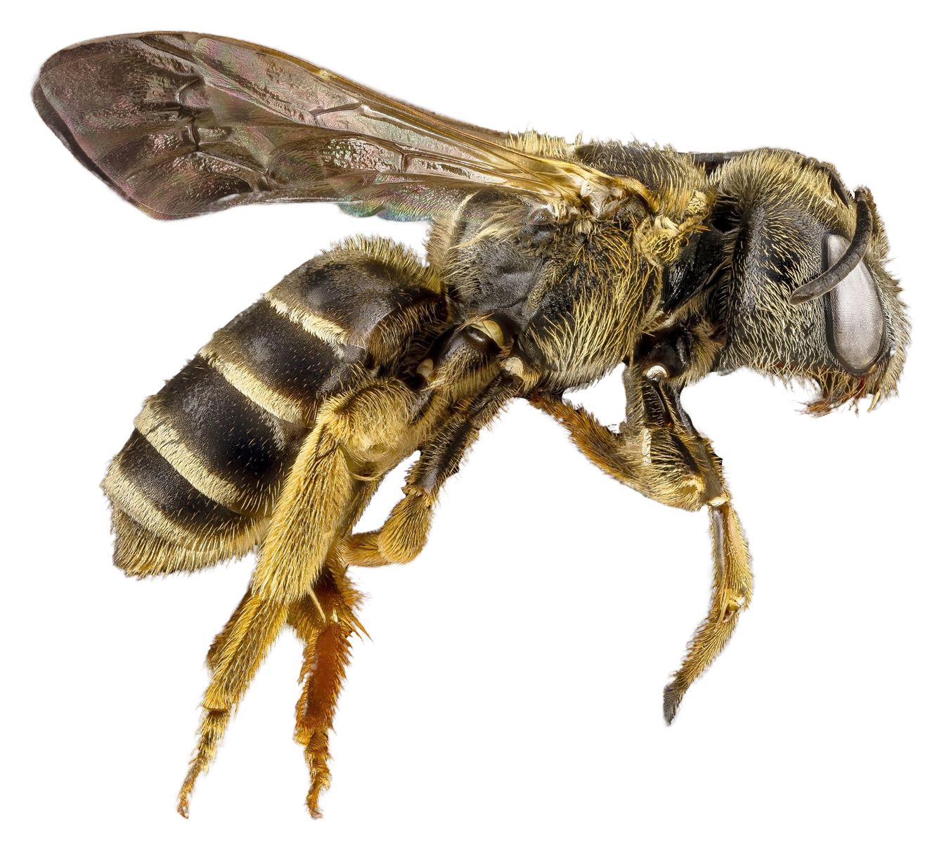 Bee png. Image purepng free transparent picture free stock