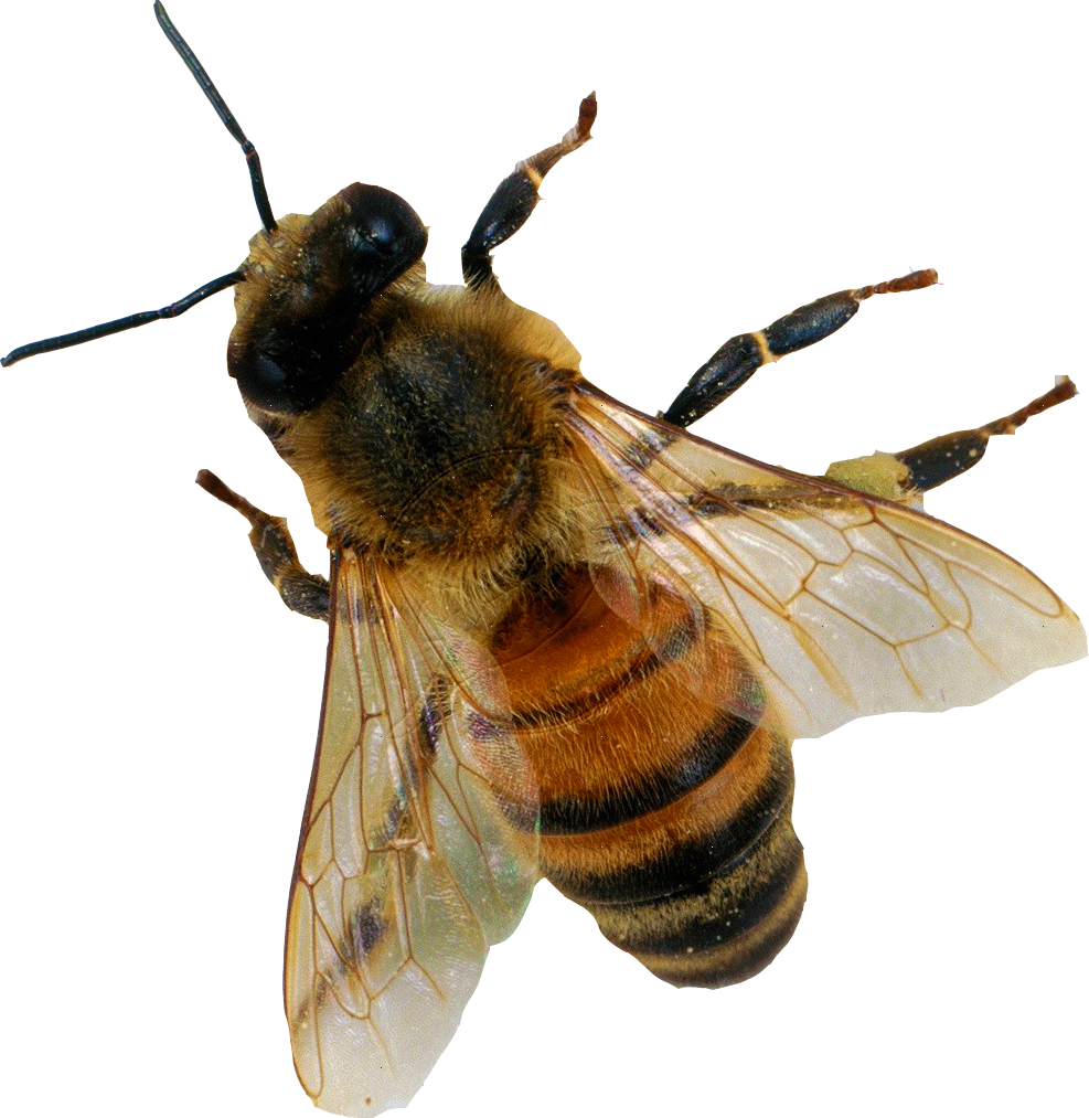 Bee png. Image mart