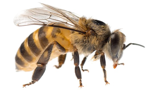 Bee png. Image backgrou images pngio