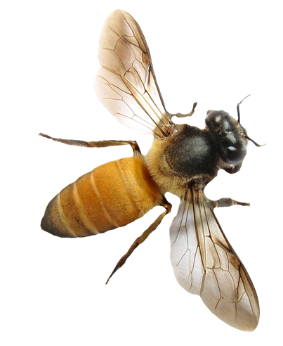 Bee png. Stock by karahrobinson art png royalty free download