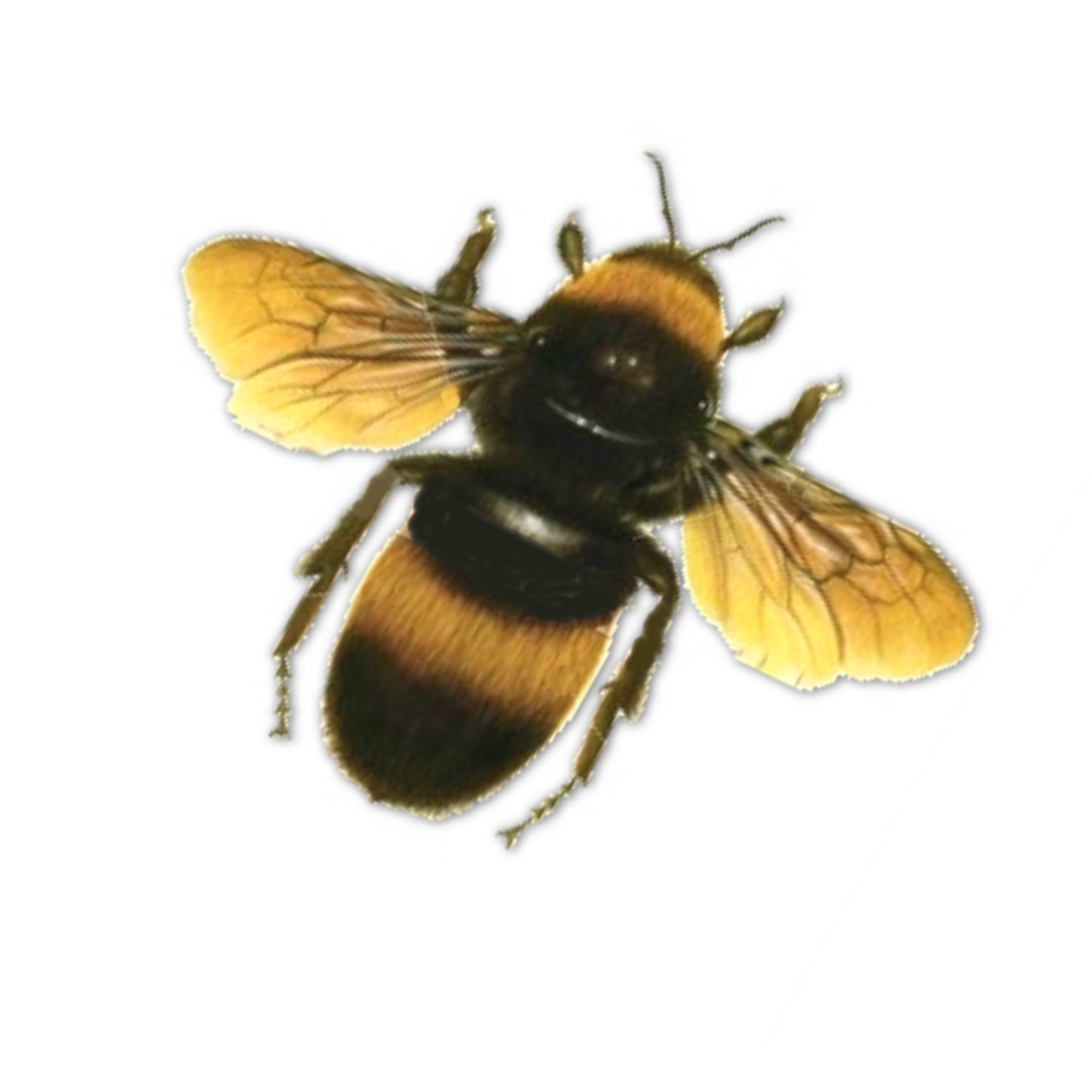 Bees transparent. Bee png images all