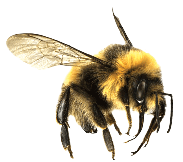 Bee large png stickpng. Bees transparent clipart freeuse