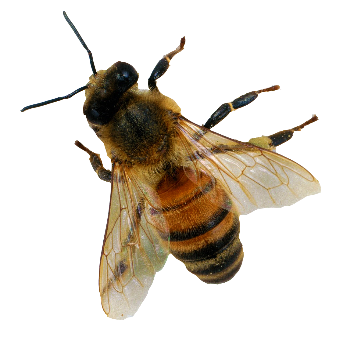Bee transparent png. Images all
