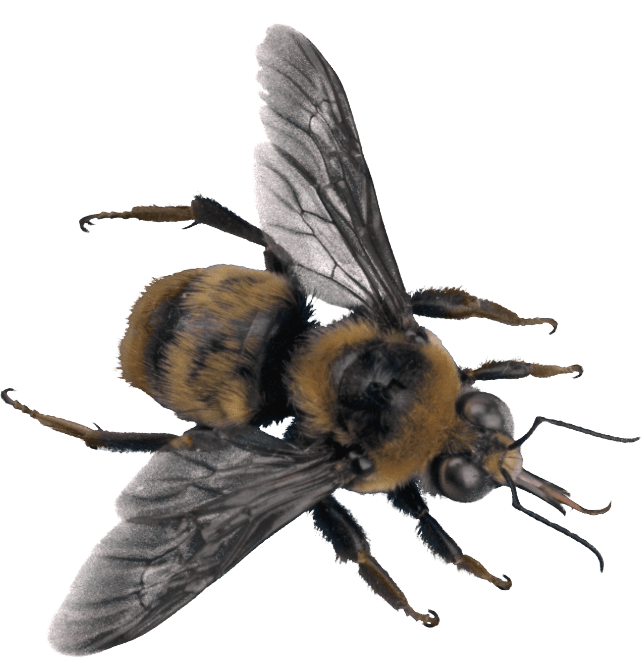 Bees transparent side view. Png images stickpng bee