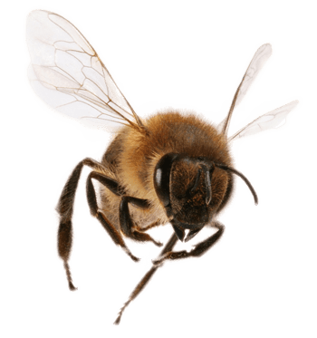 Bee transparent png. Front view stickpng