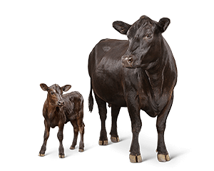Cattle vector cow calf. Feed l purina image