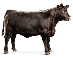 Beef vector cow herd. Cattle feed l purina