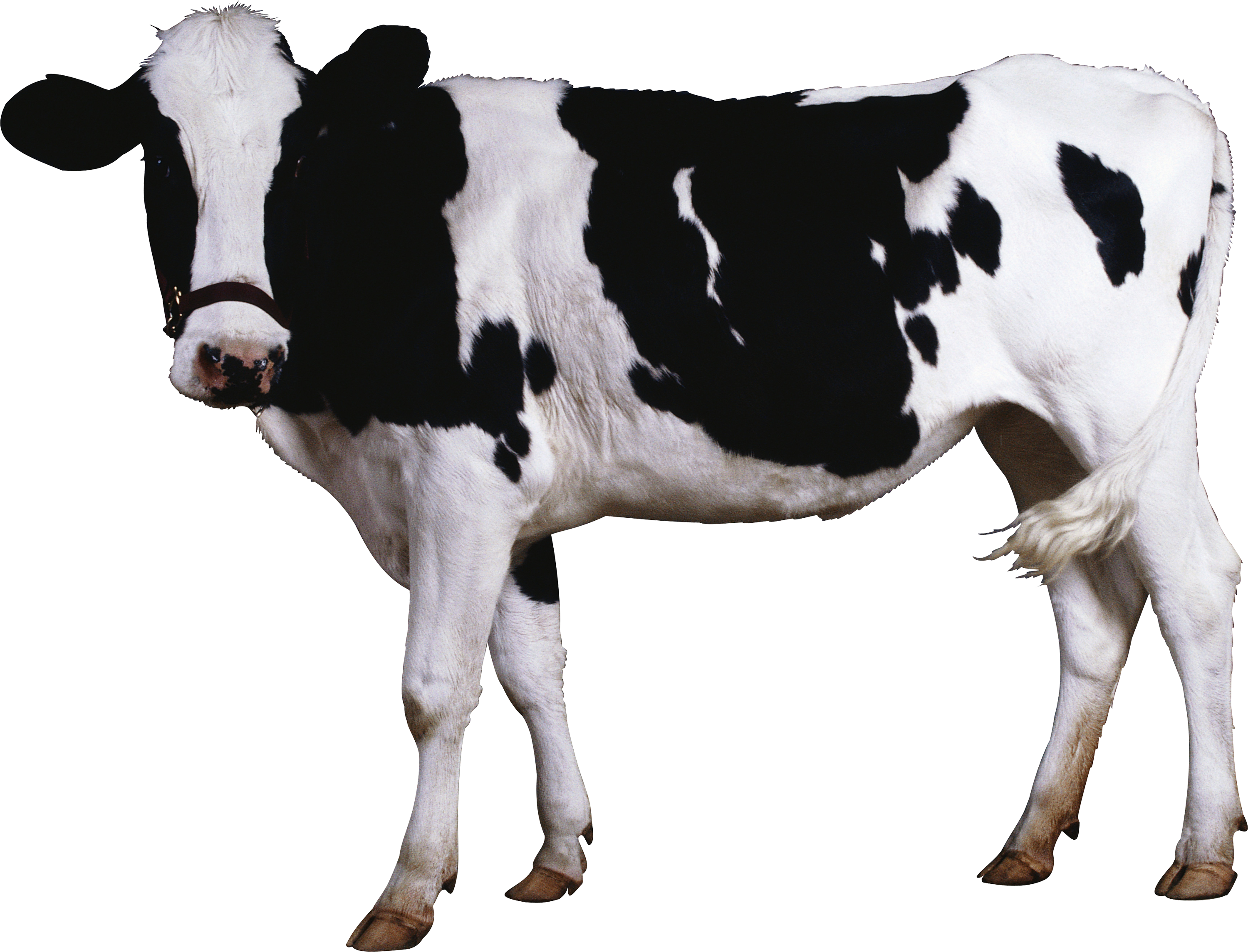 Transparent bull real. Cow png image free