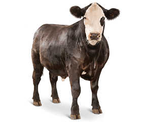 Beef vector cow sheep. Cattle feed l purina