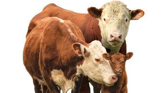 Cattle vector cow calf. Home multimin usa two