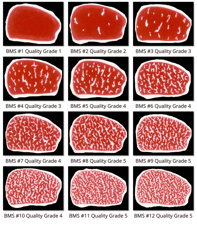 Cattle vector wagyu. Derived from native asian