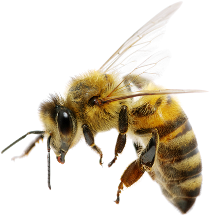 Safe removal eco friendly. Bee png image free