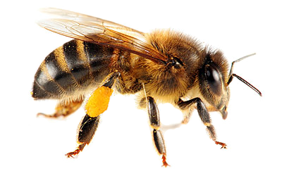 Bees transparent. Gallery isolated stock photos