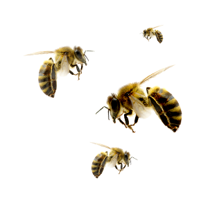 Bees transparent. Png images in collection