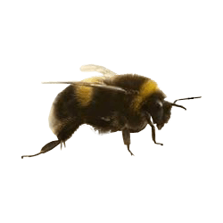 Bees transparent. Honey bee no background