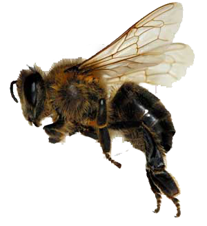 Bees transparent africanized. Florida bee removal expert