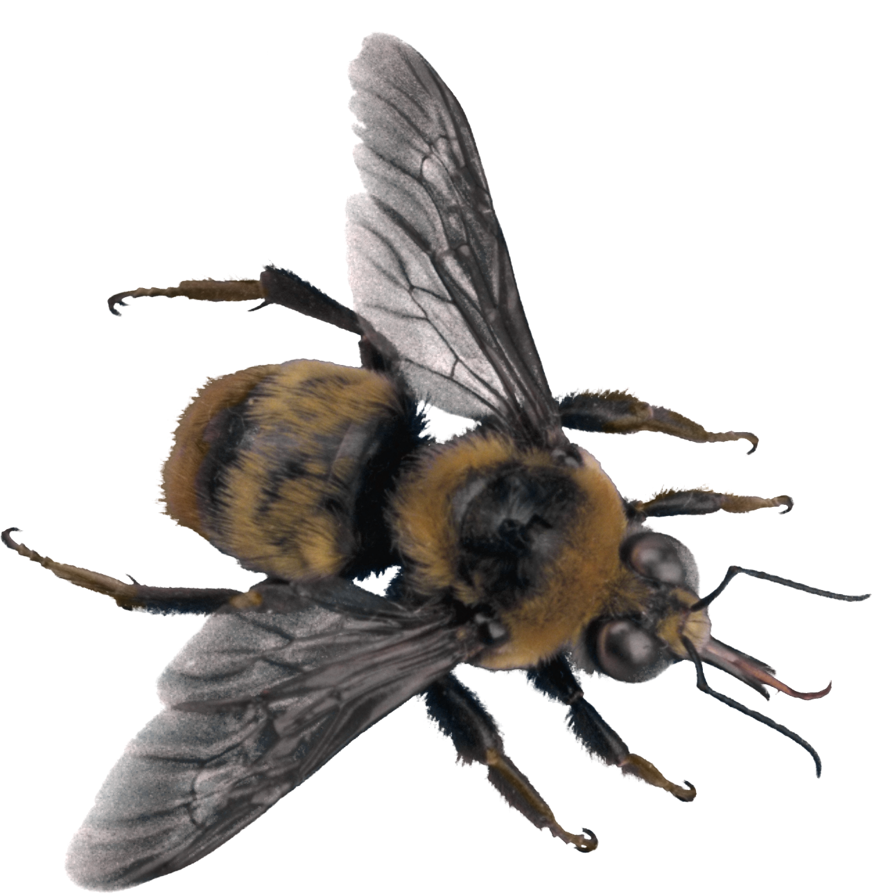 Bees transparent background. Bee png image
