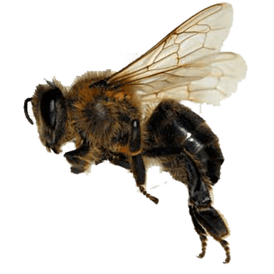 Bees transparent background. Bee large png stickpng