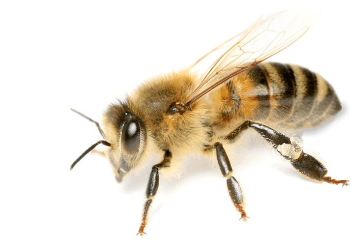 Bees transparent background. Image png bee free