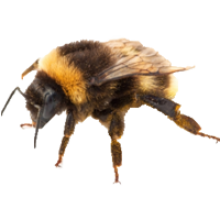 Bees transparent background. Bee image png