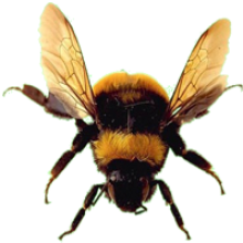 Bees transparent clear background. Bumble bee image png