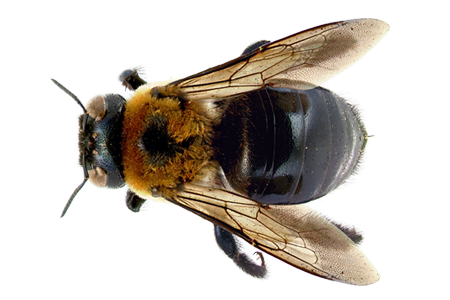 Bees transparent detailed. Learn about bee identification