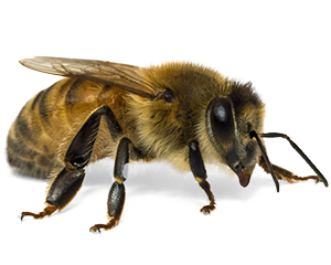 Bees transparent detailed. Purina bee supplements animal