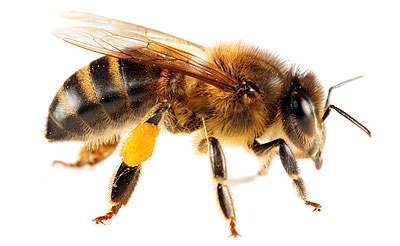 Bees transparent background. Bee twelve isolated stock