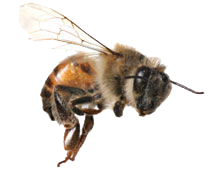 Bees transparent flying. Bee removal services azex