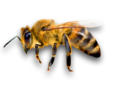 Bees transparent honey. Bee png images all